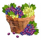 Grapes Bunch Watercolor Basket Vector Illustration. Red And Green Grapes In A Wooden Basket. Fall Se poster