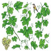 Green Separate Elements Of Grapes Branch Set. Hand Drawn Ripe Grape Bunch, Branches With  Leaves And poster