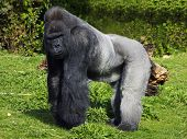 stock photo of male-domination  - A large male silver back western lowland gorilla standing in a powerful position surveying his territory - JPG