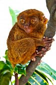 Funny-Looking Big-Eyed Tarsier