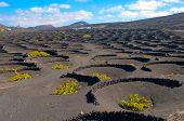 La Geria - vineyard region of Lanzarote, Canary Islands, grape vines grow in small walled craters in black volcanic ash