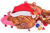 Glamourous Santa Dog fell asleep