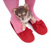 Small Chihuahua Puppy Hidding in the Slippers