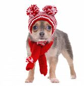 Chihuahua puppy with funny hat and scarf