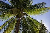 Green Palm Tree Top On Blue Sky Background. Fluffy Palm Tropical Landscape Photo. Exotic Place For V poster