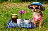 foto of chiwawa  - Tiny chihuahua dog wearing suit - JPG