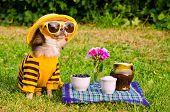 Chihuahua picnic in summer garden