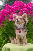 Dreaming chihuahua puppy with collar and name tag in summer floral garden