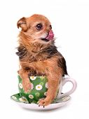 Little dog inside a cup, licking it's nose, isolated