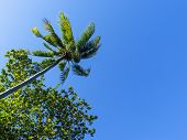 Blue Sky And Green Tropical Tree. Coco Palm Tree View From Ground. Coco Palm Leaf On Sky Background. poster