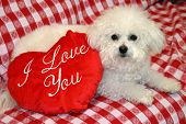 Fifi a Bichon Frise, smiles for the camera with valentine day heart pillows against a red and white
