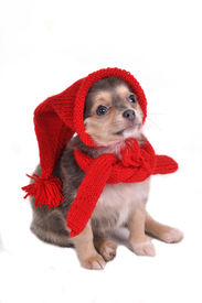 image of christmas puppy  - Cute Small Puppy Dressed in Funny Gnome Hat and Scarf - JPG