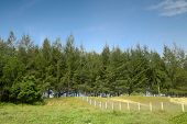 forest of coniferous pine trees and fenced grassland poster