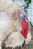 foto of turkey-cock  - Turkey - JPG