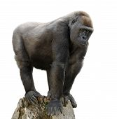 Gorilla On Tree Trunk, Isolated