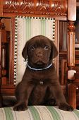 Lovely Puppy Sits On The Chair