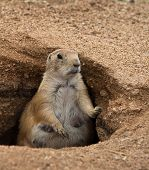 Fat Prairie Dog Standing In Burrow