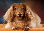 pic of long-haired dachshund  - Taco a long - JPG