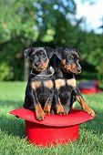 The Miniature Pinscher Puppies