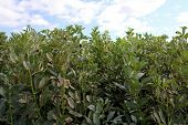 Field Of Fava Bean (Vicia faba)