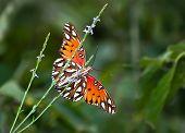 Golfregion Perlmutterfalter Schmetterling (Fritillary Vanillae) Unterseite anzeigen