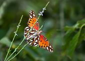 Golfo Vista inferior de Fritillary mariposa (Agraulis vanillae)