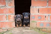 Small brown dachshunds