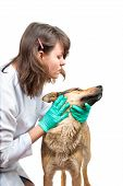 stock photo of veterinary clinic  - Young vet inspects a dog in a clinic - JPG