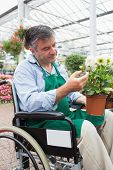 Garden center worker in wheelchair touching and admiring potted plant in greenhouse of garden center