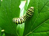 larva of the butterfly machaon on the green leaf