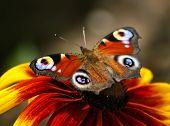 Постер, плакат: Butterfly urticaria