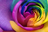 stock photo of purple rose  - Macro of rainbow rose heart and colored petals - JPG