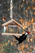 Pilliated Woodpecker