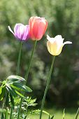 Three Easter Tulips