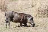 ������, ������: Central African Warthog
