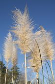 image of pampas grass  - Pampas Grass head against a blue winter sky - JPG
