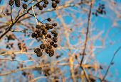 foto of alder-tree  - Closeup of mature female catkins hanging on the branches of an alder tree in autumnal sunlight and against a blue sky - JPG