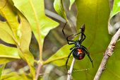 stock photo of black widow spider  - A Black Widow Spider climbing on it