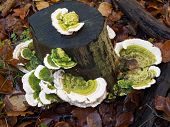 Trametes Gibbosa  Fungi, Also Known As 'lumpy Bracket'