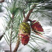 Cones in a pine tree with snow and ice