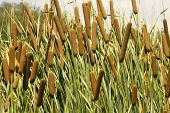 stock photo of cattail  - Cattails (Typha orientalis) with is Brown Sausage Like Flowers