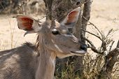 image of bosveld  - Kudu Cow Listening with One Ear Turned Forward one Ear Back - JPG
