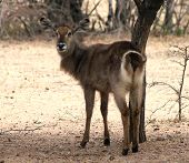image of bosveld  - Alert Waterbuck Looking Backwards Listening Carefully to Every Sound - JPG