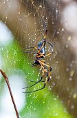 Palm spider after the rain. Seychelles 2013
