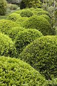 Topiary Bushes In English Garden