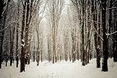 stock photo of snow forest  - Snow covered trees in the forest in winter - JPG