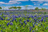 Wide Angle Shot of a Colorful Texas Prairie Landscape Blanketed with Texas Bluebonnets