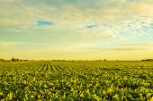 stock photo of soybeans  - A beautiful soybean field at dusk with amazing colors.