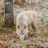 Blonde Wolf (Canis lupus) Sniffs In Snow Covered Leaves
