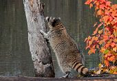 Raccoon (Procyon lotor) Contemplates Climbing Tree
